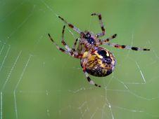 Free Паук семейства  Argiopidae. Stock Photo - 567920