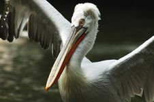 Free Pelican Royalty Free Stock Image - 567936