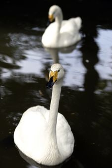 Free Swans Stock Image - 568181