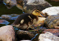Free Duckling Stock Photo - 5600950