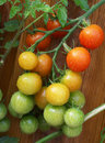 Free Tomatoes...almost Ripe. Stock Photo - 5606180