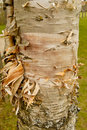 Free Peeling Birch Tree II Royalty Free Stock Photos - 5606788