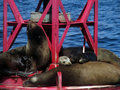 Free Harbor Seals On Buoy Royalty Free Stock Images - 5606999