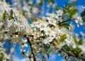 Free Apple Tree Blossom Royalty Free Stock Photo - 5609735