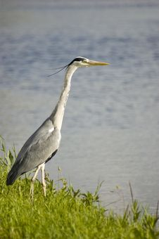 Free Grey Heron Stock Photography - 5600092