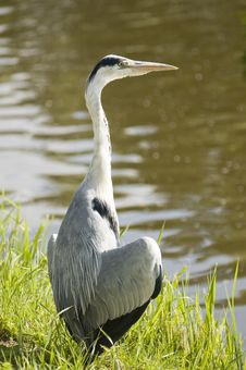 Free Grey Heron Royalty Free Stock Photos - 5600148