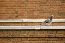 Free Pigeon At The Edge Of A Roof Royalty Free Stock Photography - 5600207