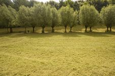 Free Row Of Willow Trees Stock Photography - 5600452