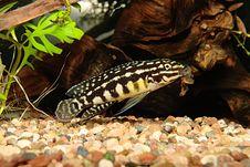 Free Julidochromis Marlieri Royalty Free Stock Photos - 5600468