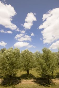 Free Row Of Willow Trees Royalty Free Stock Photos - 5600478