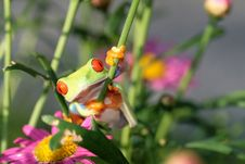 Free Red Eyed Tree Frog Stock Image - 5600501