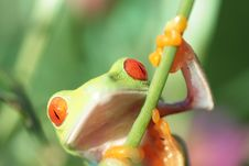 Free Red Eyed Tree Frog Stock Images - 5600514