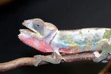 Free Chameleon Royalty Free Stock Image - 5600646