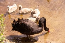 Free Black Swan Stock Photography - 5601302