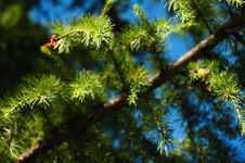 Conifer Branchlets. Royalty Free Stock Image