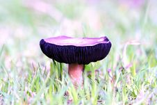 Free Flat Topped Mushroom Royalty Free Stock Photography - 5601417