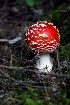 Free Mushrooms Royalty Free Stock Photography - 5602007
