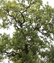 Free Weird Branching Tree Royalty Free Stock Photography - 5603297