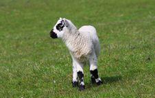 Free New Born Lamb Stock Photos - 5603813