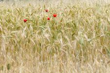 Wheat And Poppies Royalty Free Stock Image