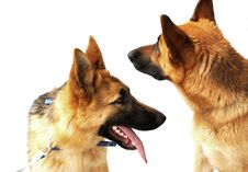 Free German Shepherd Dog Royalty Free Stock Photography - 5604327