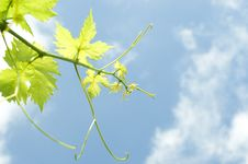 Free Grape Plant Royalty Free Stock Photos - 5604448