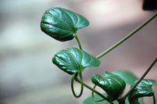 Clematis Vine(Clematis Ligusticifolia) Stock Image