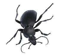 Free Isolated Black Beetle Royalty Free Stock Images - 5604829