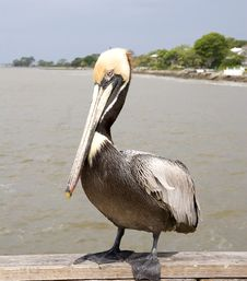 Free Pelican Posing On Pier Royalty Free Stock Images - 5604859
