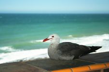 Free A Resting Gull Royalty Free Stock Image - 5605026