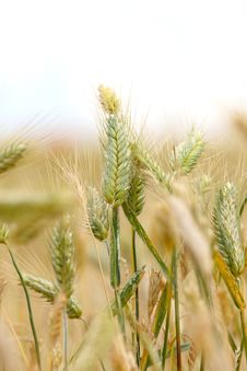 Free Golden Wheat Field Stock Photo - 5605310