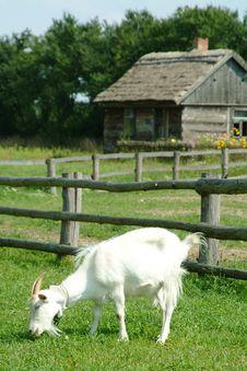 Free Goat Royalty Free Stock Photo - 5605535