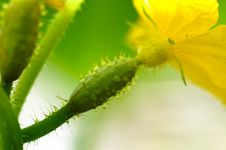 Free Growing Cucumber Royalty Free Stock Image - 5605616