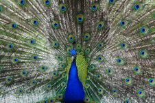 Free Peacock Peafowl With His Tail Feathers Royalty Free Stock Images - 5605829