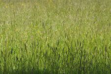 Free Perfect Sunny Green Grass Background Royalty Free Stock Image - 5605856