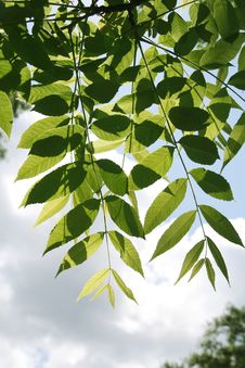 Free Green Leaves On Sky Background Stock Photography - 5605862