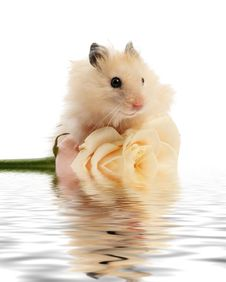 Free Hamster With Rose Stock Image - 5605971