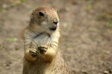 Free Prairie Dog Stock Images - 5606544