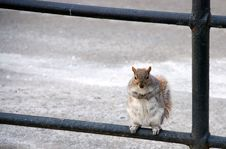 Squirrel Rests On A Fence Royalty Free Stock Image