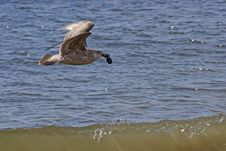Free Flying Gull With Marine Cockleshells Royalty Free Stock Photo - 5606735