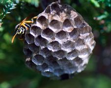 Free Wasp Taking Care Of His Nest Stock Photography - 5606742