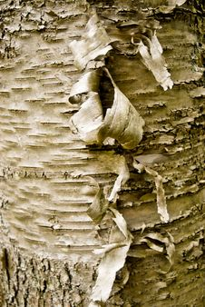 Free Peeling Birch Tree. Stock Photography - 5606752