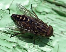 Free A Macro Shot Of Fly Royalty Free Stock Photo - 5606785