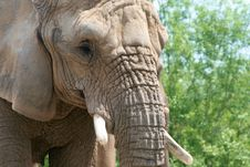 Free Elephant Close Up Royalty Free Stock Photo - 5607405