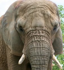 Free Elephant Close Up Royalty Free Stock Images - 5607429