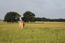 Free Jersey Cow In Distance Royalty Free Stock Photo - 5607605