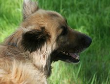 Young Collie Shepherd Mix Dog Stock Photo