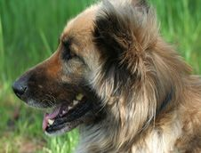 Young Collie Shepherd Mix Dog Stock Image
