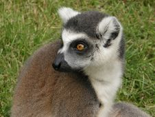 Free Lemur Royalty Free Stock Images - 5609169