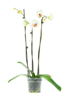 Free White Orchid. Royalty Free Stock Photos - 5609918